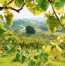 Zlue vinogradary